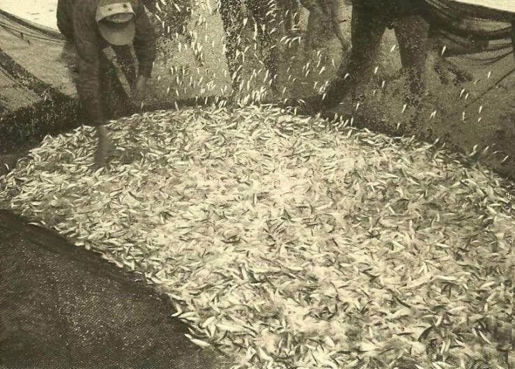 Parpujas en la red de los pescadores en La Barrosa